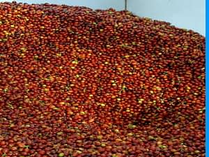 Typical Kona Coffee Fruit Being Pulped